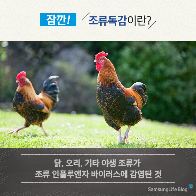 조류독감이란? 닭, 오리, 기타 야생 조류가 조류 인플루엔자 바이러스에 감염된 것