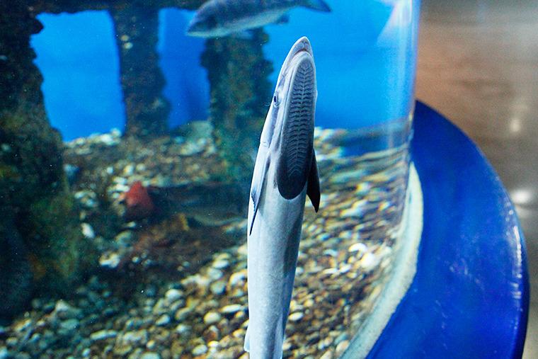 상어, 빨판상어, 상어종류, 우리나라 상어