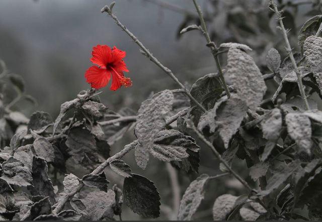 화산재 속에 핀 장미꽃