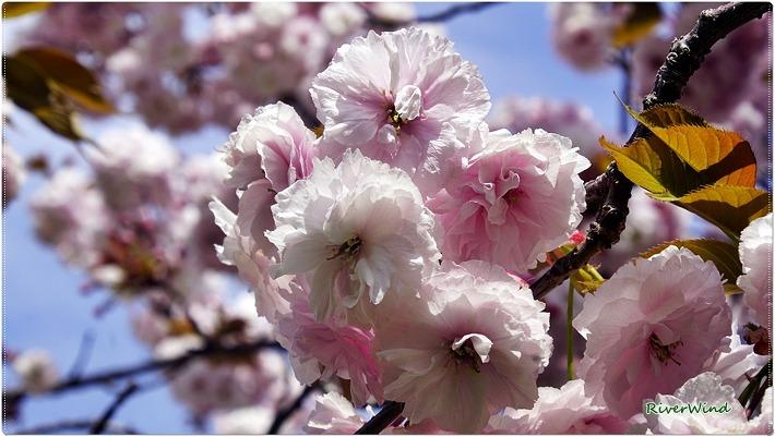 늦은봄 화려하게 피는 왕벚꽃,접벚꽃,접사쿠라,King cherry/OmnisLog