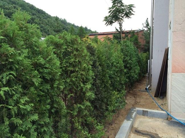 더숲의 정원이야기 :: [수목 울타리] 서양측백 나무를 이용한 ...
