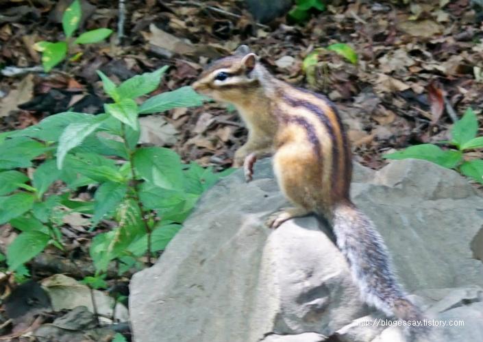 한국 다람쥐 시베리아 다람쥐