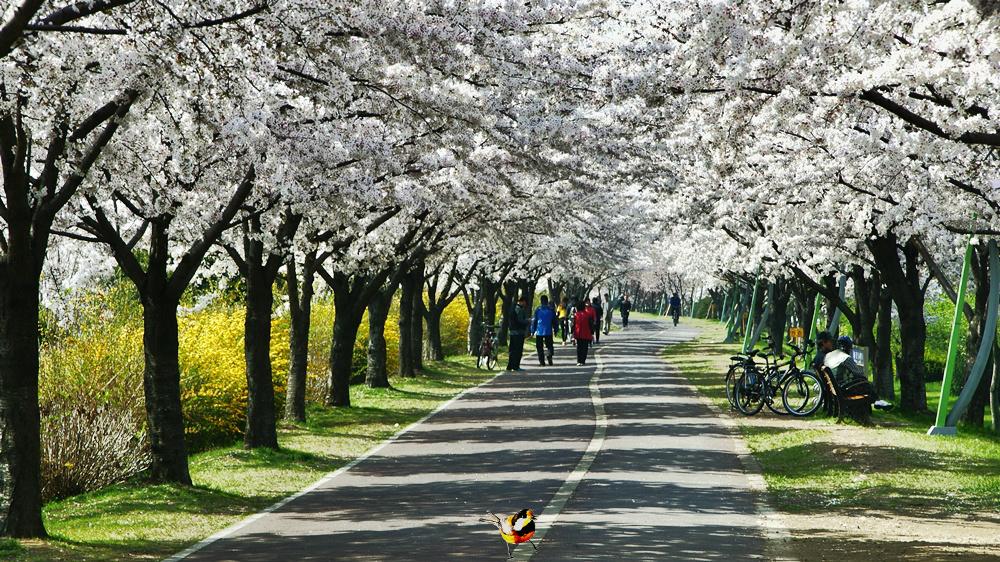 낙동강 강변길에서 벚꽃길의 진수를 본다.