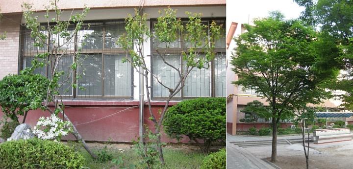 신양중 보리수나무