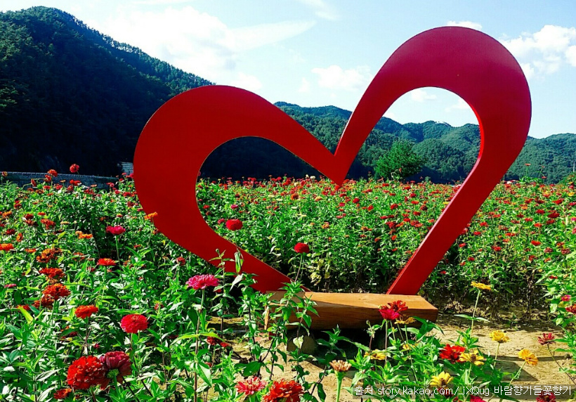 평창 백일홍축제 : 가을을 아름답게 수 놓는 백일홍 꽃밭, 굽이 도는 평창강