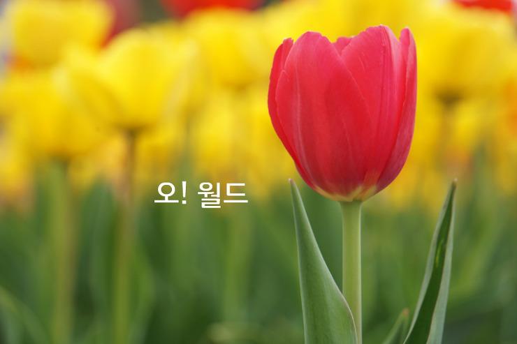 전국명소 오월드 튤립축제 꽃잔치! 예쁨 예쁨!