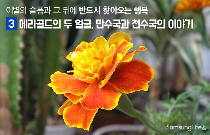 만수국 천수국 금잔디 메리골드 꽃