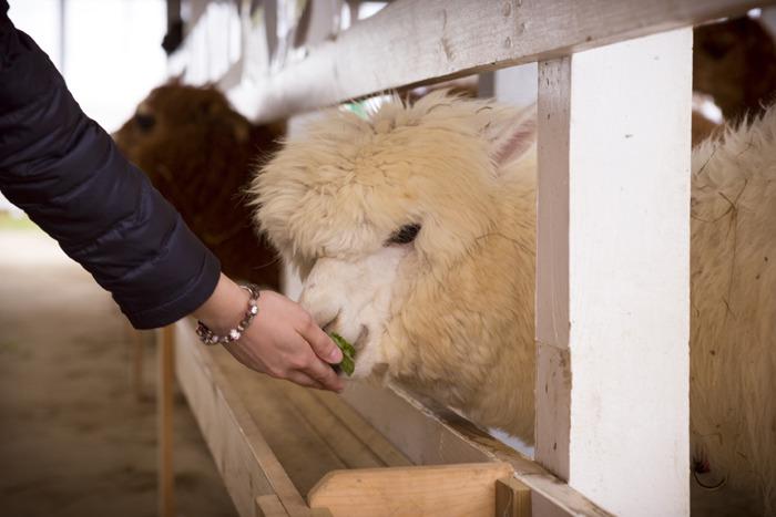 먹이를 먹고 있는 알파카와 먹이를 주고 있는 손