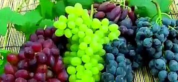 포도 종류별 영양성분