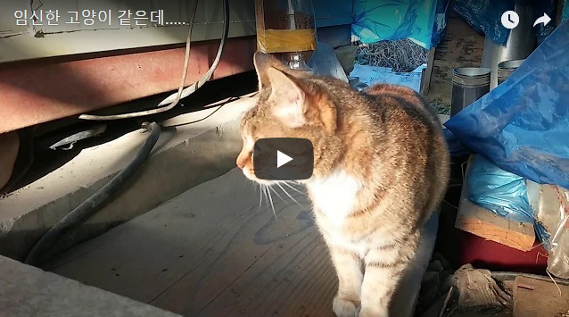 [길고양이]임신한 고양이 같은데....