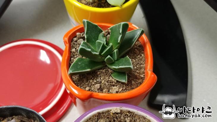 다육식물 물주기